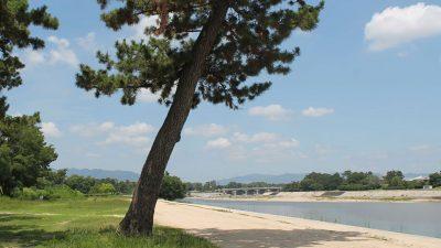 武庫川河川敷緑地の一本松