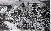 昭和初期のいちご狩り