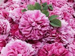 生のダマスクローズの花
