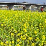 武庫川河川敷公園の菜の花