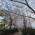 桜と阪神間モダニズム建築をめぐる