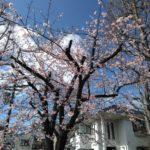 今津紅寒桜が満開です