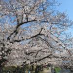 2020年春 近所の桜紹介