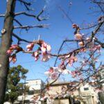 西宮の早咲き桜が咲き始めました