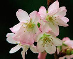 西宮のご当地桜 夙川舞桜 羽衣橋の南側や六湛寺公園の中にも植えられている (2007年4月2日撮影) 「桜は少し表情が違うと、新種か否か、命名するか否かと論議をよびます。人間でも兄弟で顔が少しずつ違うように、その程度は桜の個性なんです。育種家の方は新種発見することも目的の一つなので、どんどん品種が増えていくことが、ある意味で喜びなのかもしれません。しかし樹木医として樹木保護の観点から考えると、市民に愛される桜の名所で自然偶発的に生まれた新種…それこそが本物の新種だと考えます」