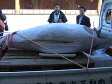 大マグロを奉納する水産物業者の人たち