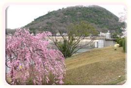 甲山周辺の桜