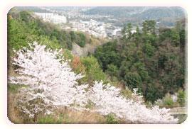 名塩方面の桜