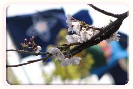 その他、市内の桜