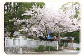 山口町方面の桜