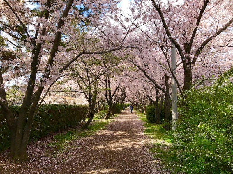 ふるさと桜づつみ回廊
