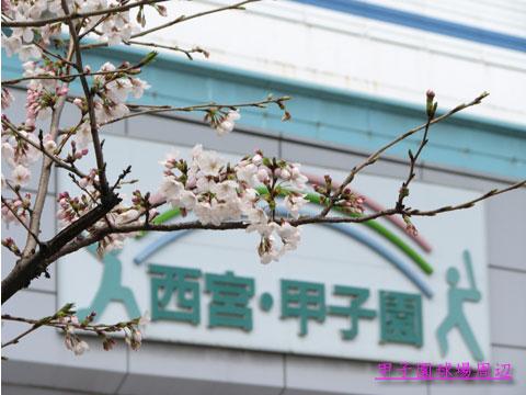 甲子園に咲く桜