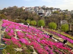 芝桜(地すべり跡地広場)