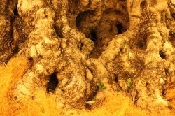 樹齢500年のオリーブ