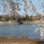 大池のさくら