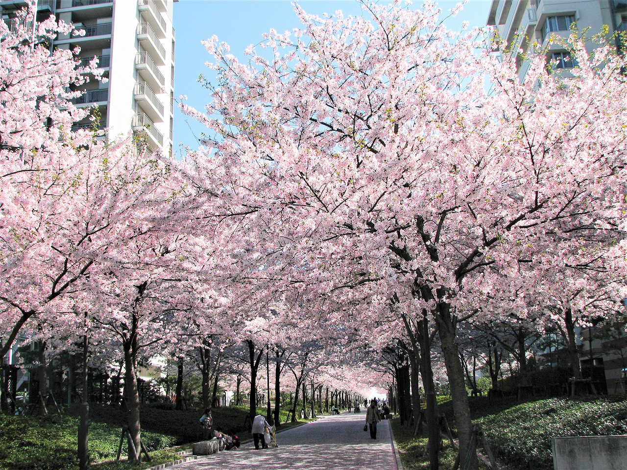 西宮浜 桜通り