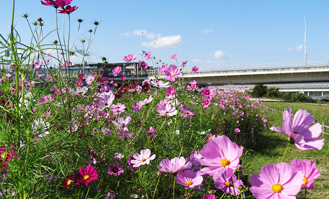 武庫川のコスモス