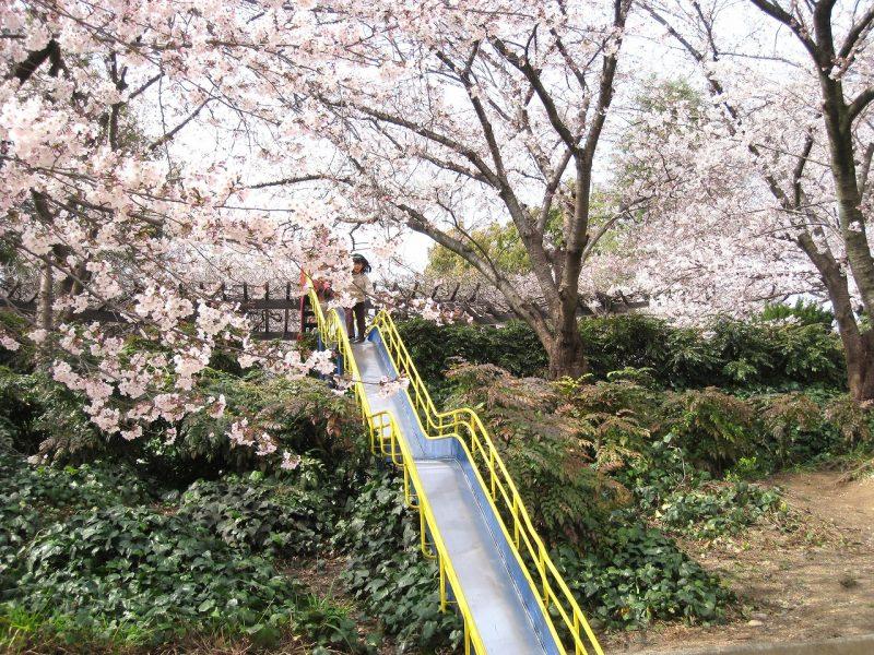 桜 豊楽公園