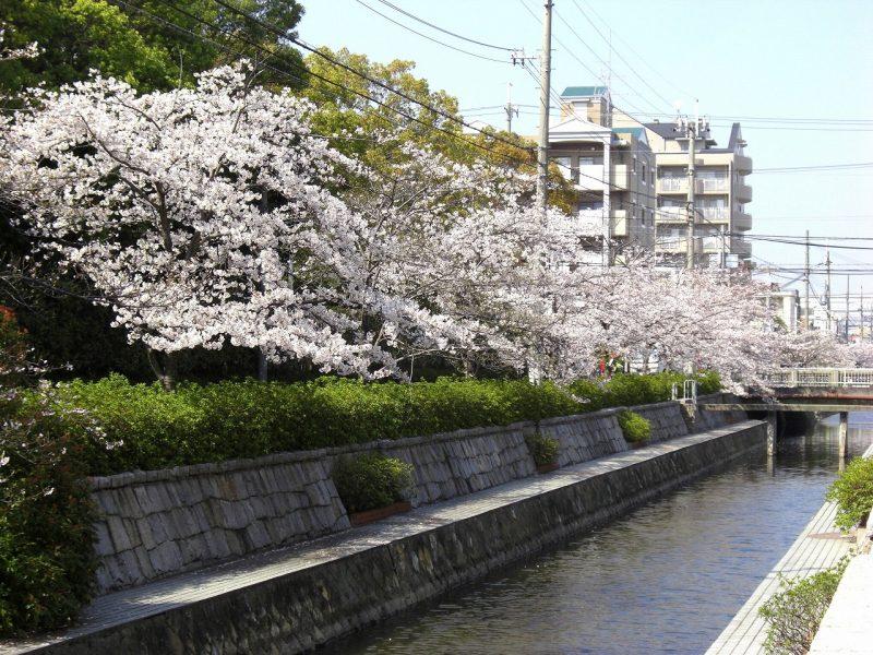桜 津門川