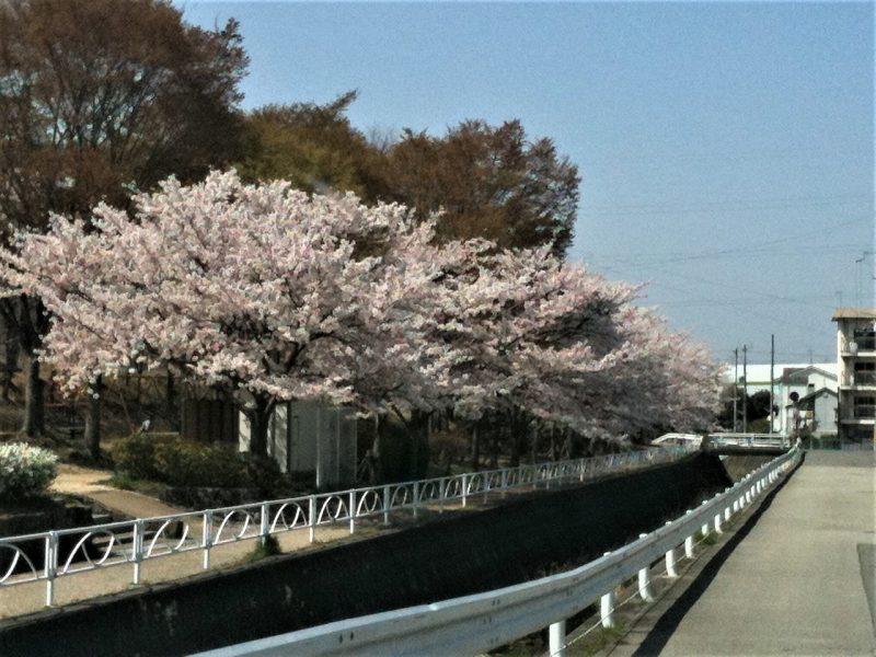 桜 下山口公園