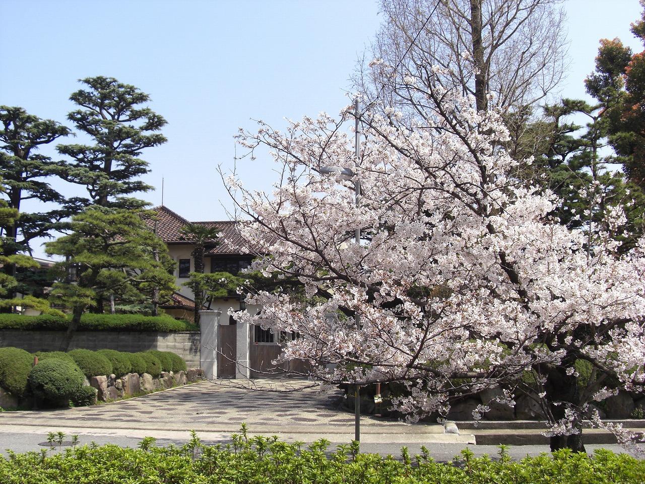 桜 新堀川(温山記念館)