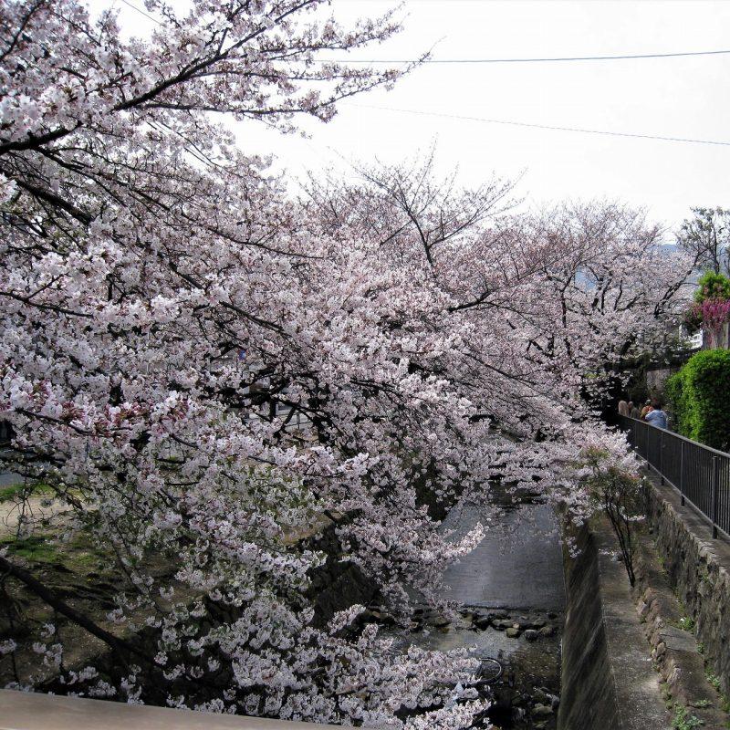 桜 中新田川