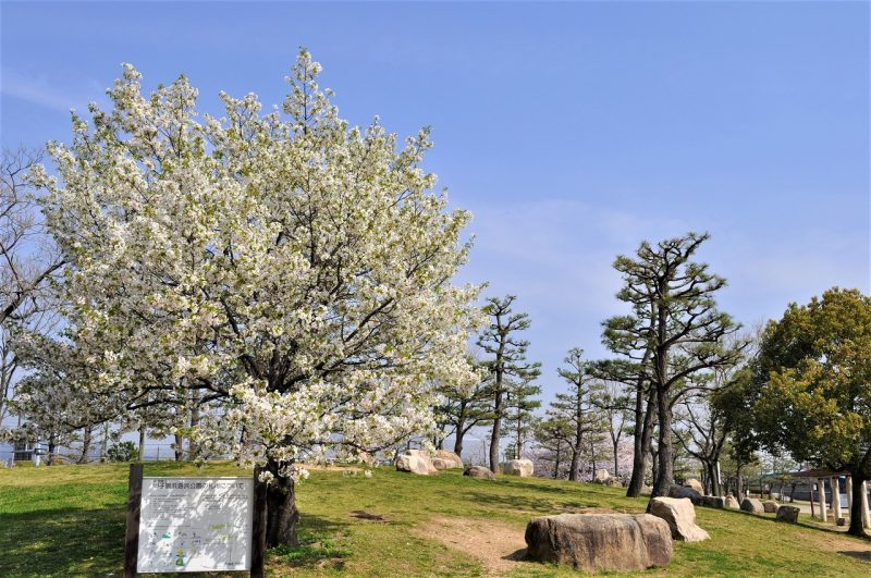 桜 甲子園浜臨海公園(沖エリア)