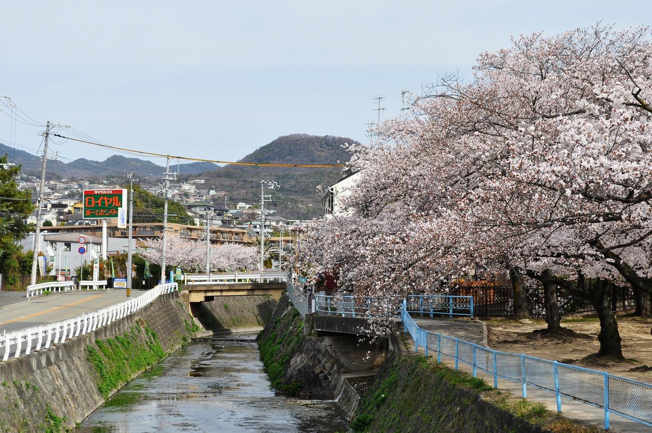 桜 御手洗川