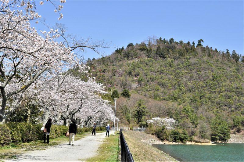 桜 金仙寺湖