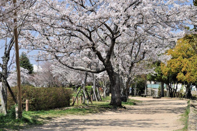 桜 桜 有馬川緑道