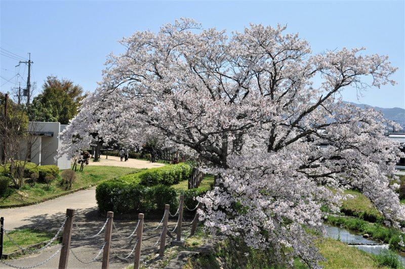 桜 有馬川緑道