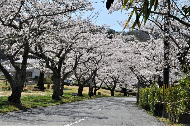桜 船坂(ゴルフ場入り口)