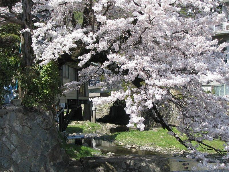 桜 名塩川