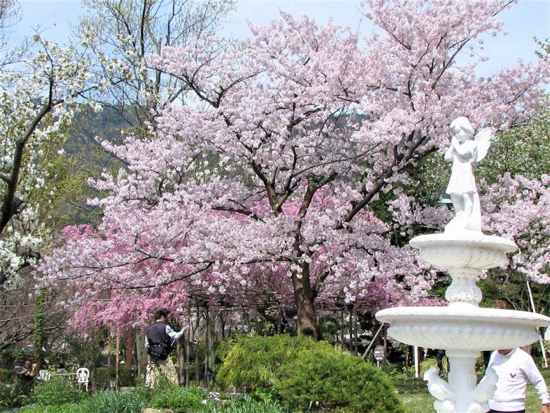 桜 北山緑化植物園
