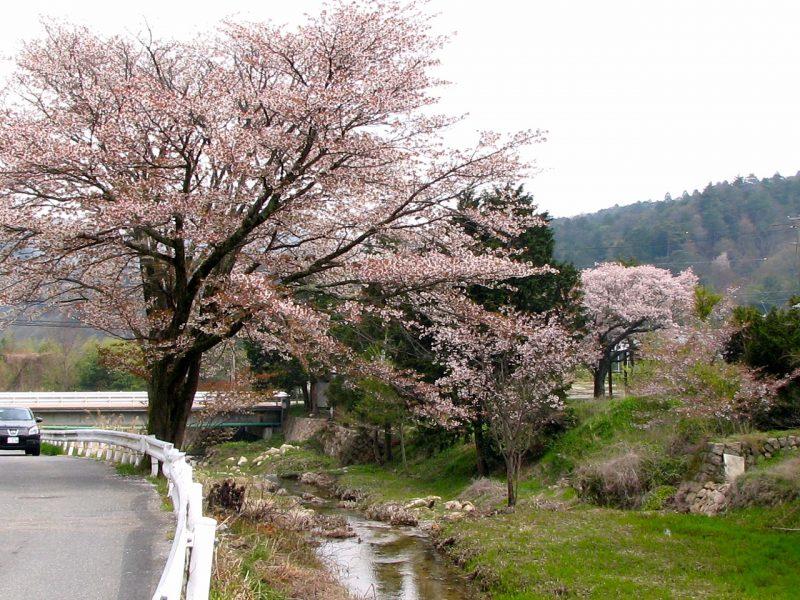 桜 船坂川 ベルク