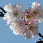 西宮のさくら <西宮の固有種・夙川舞桜>