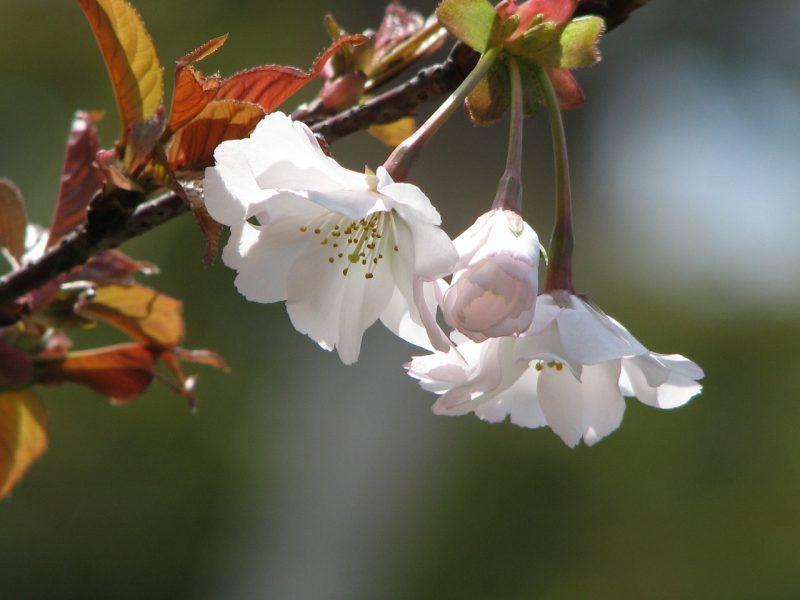 桜 夙川舞桜