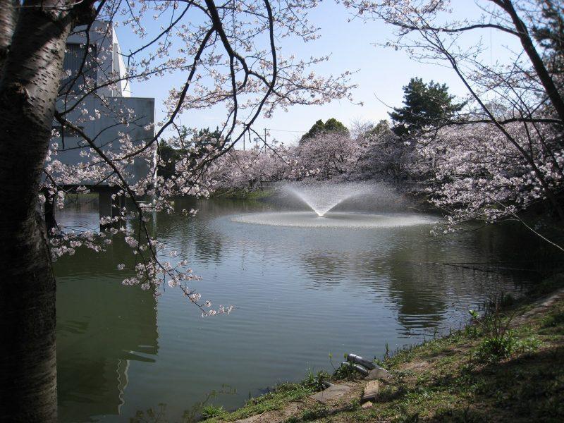 桜 片鉾池
