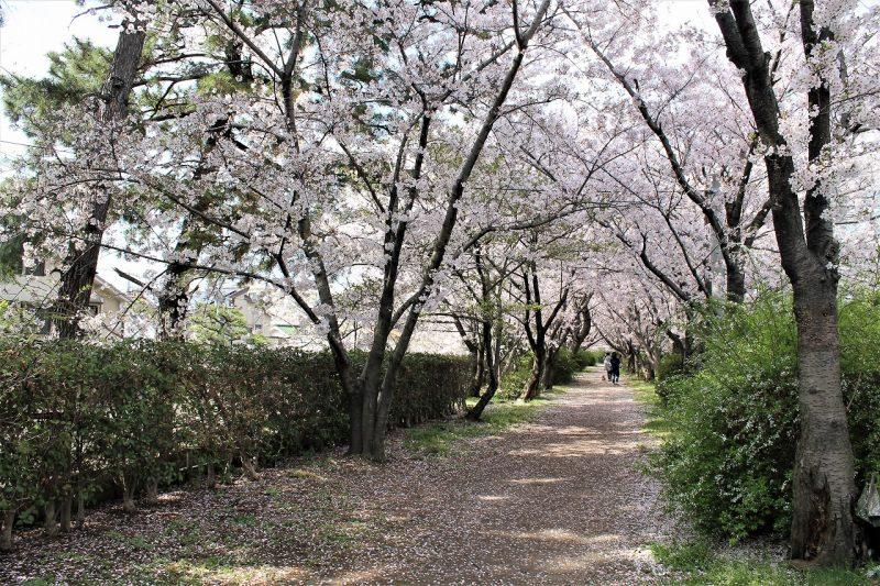 桜 桜づつみ回廊