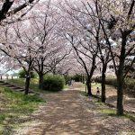 西宮のさくら<武庫川周辺>