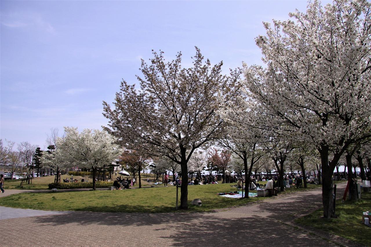 桜 西宮浜
