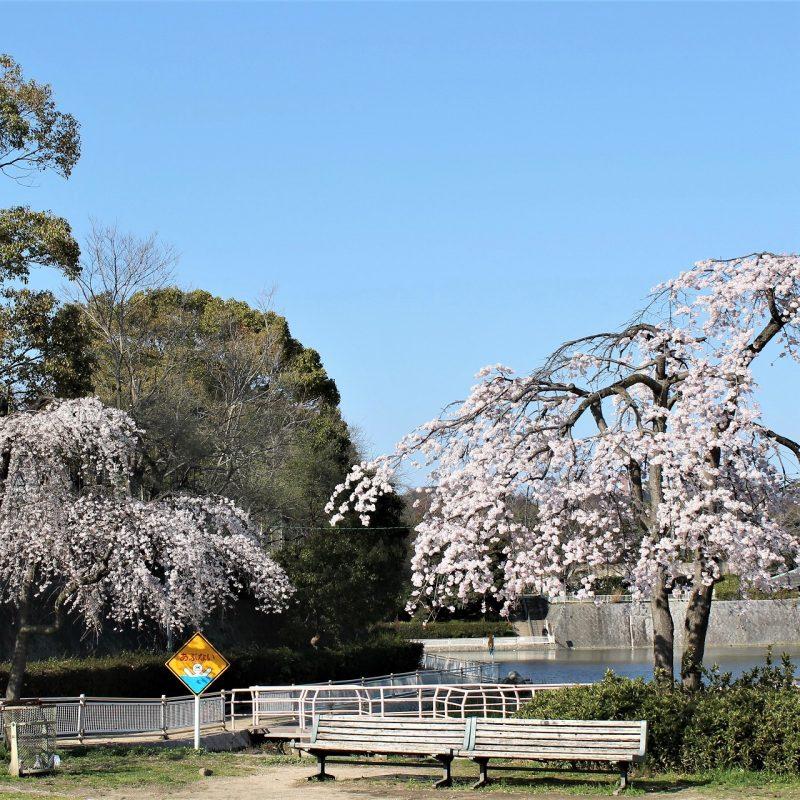 桜 大池南公園