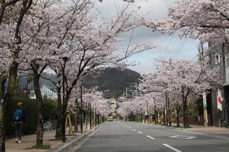 桜 関学 学園花通り