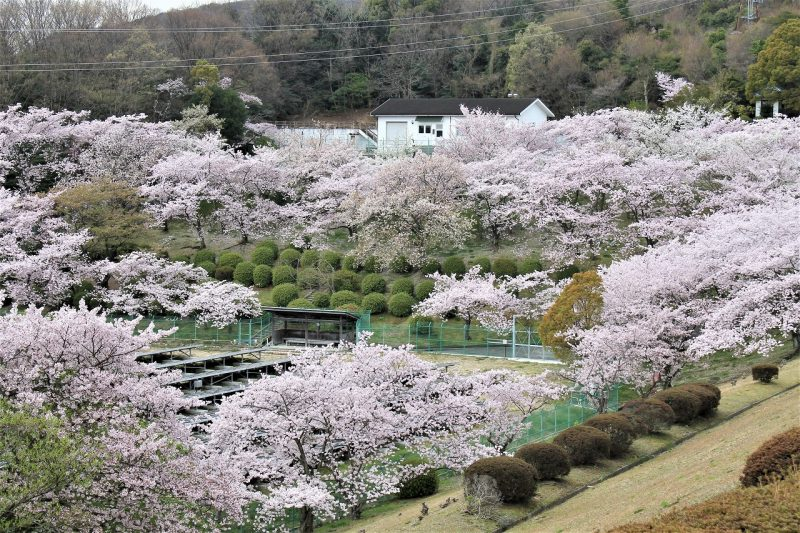 桜 北山貯水池