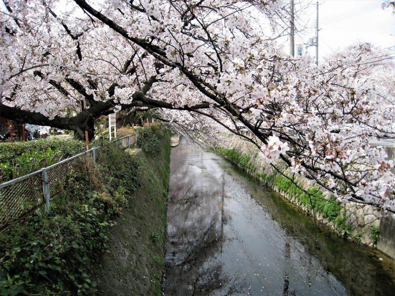 桜 六軒町(東川)