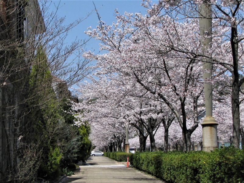 桜 東山台さくら通り