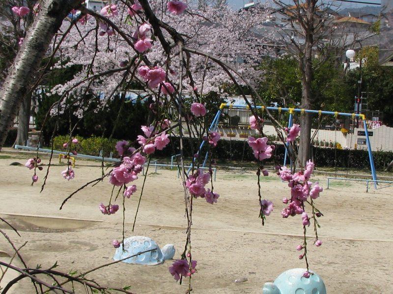 桜 深谷公園