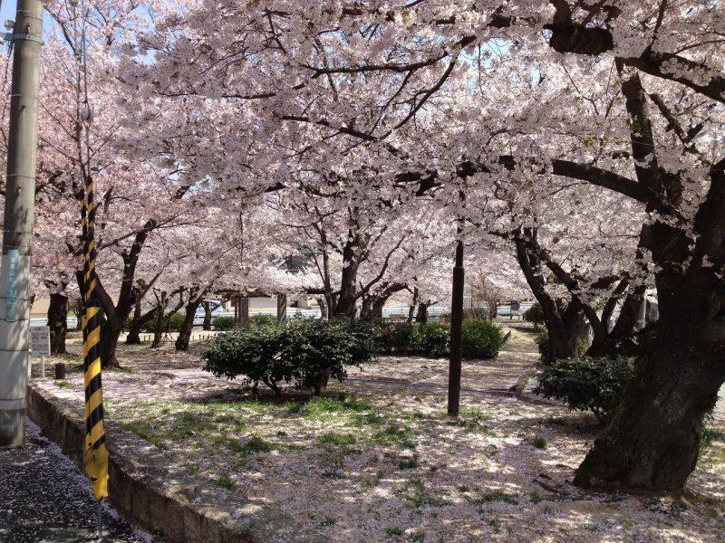 桜  木津山公園