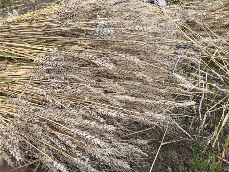船坂 小麦