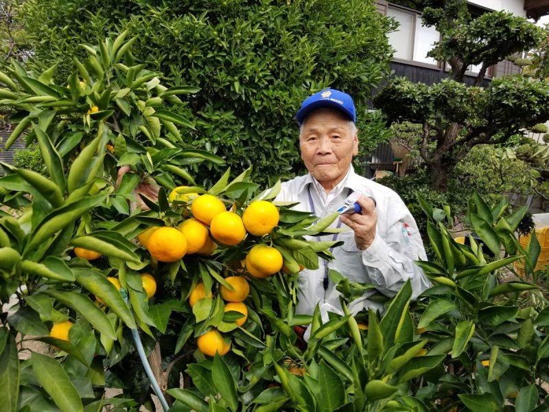 段上町の松山果樹園でみかんの収穫